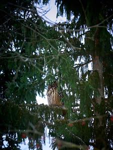 Daydreaming. Eurasian Eagle Owl