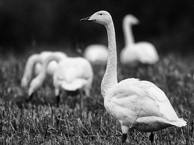 Lambs with wings. Whooper swan bw