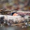 Peep. Eurasian bullfinch