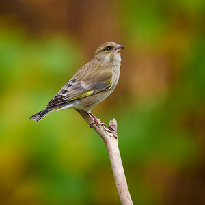 European greenfinch