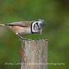 Töyhtötiainen (Parus cristatus) - The Crested Tit
