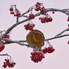 Pine grosbeak eating rowan berries