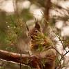 Red Squirrel portrait pinestyle