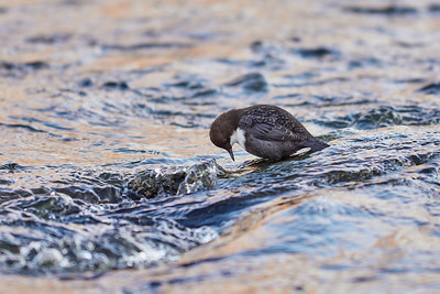 Should I or should I not. White-throated dipper