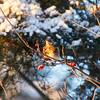 Fieldfare eating rowan berries