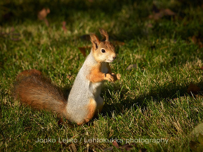 Orava (Sciurus vulgaris) - Red Squirrel