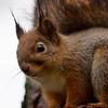 Red Squirrel portrait 3
