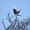 Takeoff. Eurasian magpie