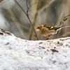 Sick Chaffinch female