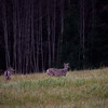 Whitetails