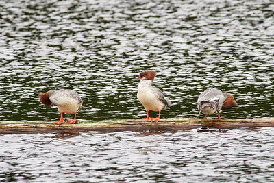 Is it the fish or me. Goosander