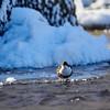 White-throated dipper