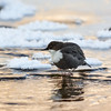 Freezing water. White-throated dipper