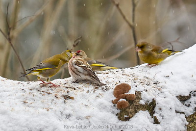 Just a kiss. Redpolls and greenfinches