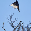 Up up up. Eurasian magpie
