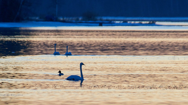 Blue and Gold. Whooper Swan
