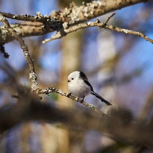 Longtailed tit