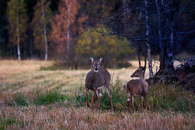 Whitetailed deers