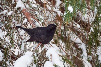 It is so snowy. Eurasian blackbird