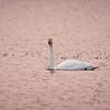 Whooper swan in Pink