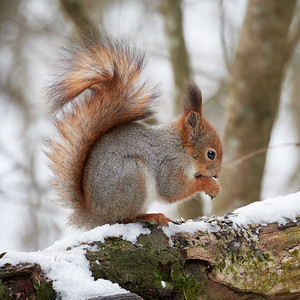 MOre seeds. Red squirrel