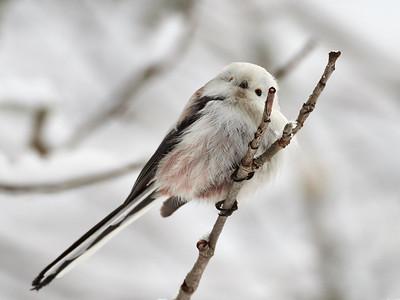 How about a Long-tailed tit