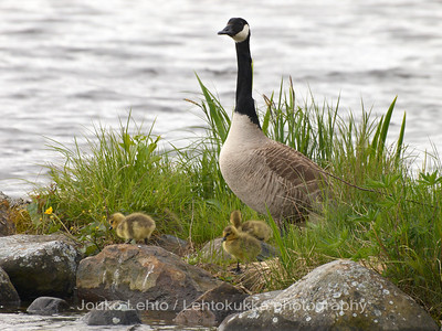 Kanadanhanhi (Branta canadensis) - Canada goose