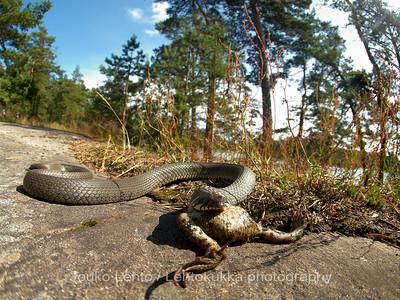 Rantakäärmeen lounas - The Lunch of The Grass snake
