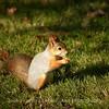 Orava (Sciurus vulgaris) - Red Squirrel
