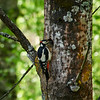 Need for speed. Great spotted woodpecker