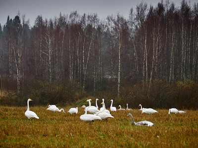 My group my family. Whooper swan