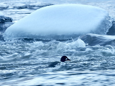 The cold and strong January stream. Common goldeneye