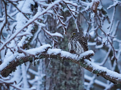 Eurasian pygmy owl with a Yellow-necked Field Mouse