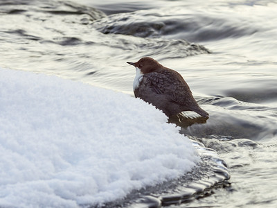 White-throated dipper and the stream