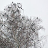 Hooded crows and Jackdaws