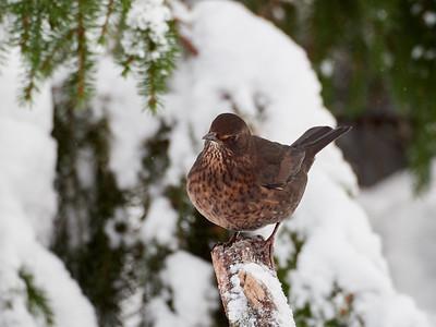 Show some leg. Eurasian blackbird