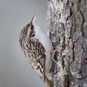 So close so cute. Eurasian treecreeper