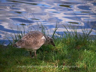 Nuori lokki - Young gull