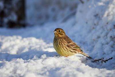 Having some snow on the beak. Yellowhammer