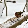 Winter Chaffinch