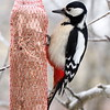 Great spotted woodpecker portrait