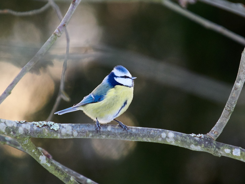 Blue tit sunrise