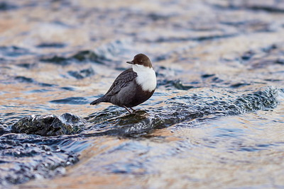 White-throated dipper posing in the stream