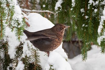 Finding the balance. Eurasian blackbird