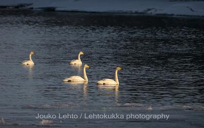 Laulujoutsen(Cygnus cygnus) - Whooper swan