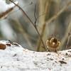 Sick Chaffinch female