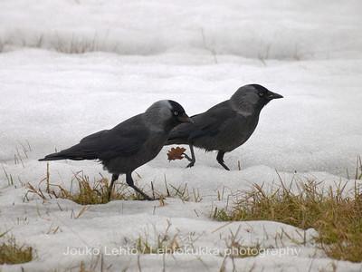Naakka, Corvus monedula - Jackdaw