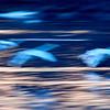 Breaking the Opposites. Whooper Swan