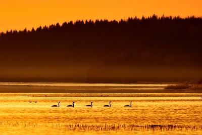 Swan lake sunset. Whooper Swan