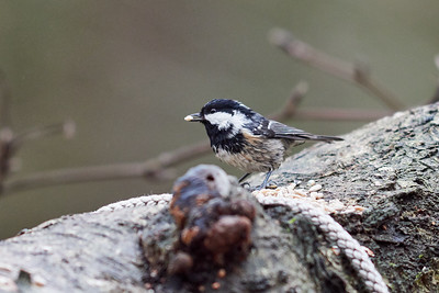 Coal tit on a wet day
